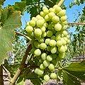 Primus, pilzresistente Wein Rebe, kernlose helle Weintraube, gestäbt im 2 L Topf von Grüner Garten Shop bei Du und dein Garten