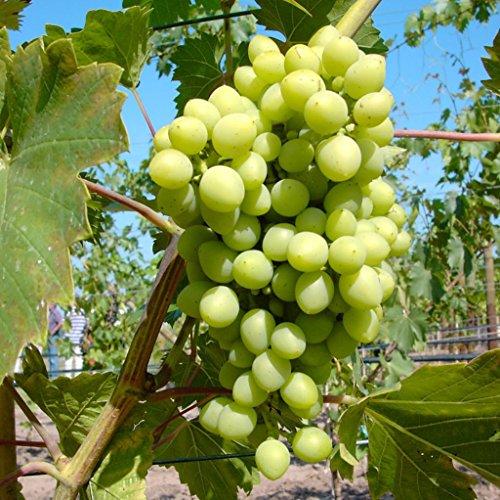 Grüner Garten Shop Romulus, weiße kernlose Traube, pilzfeste Wein Rebe, gestäbt 60-100 cm im 2...