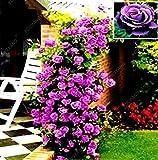 100 Samen/pack Mix Kletterpflanze Polyantha Rose sät DIY Hausgarten Hof Topf Blumensamen Schöne Bonsai Samen Red