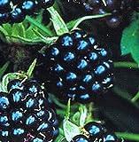 Brombeere - rubus fruticosus - Triple Crown - pflegeleicht, anspruchslos und ertragreich
