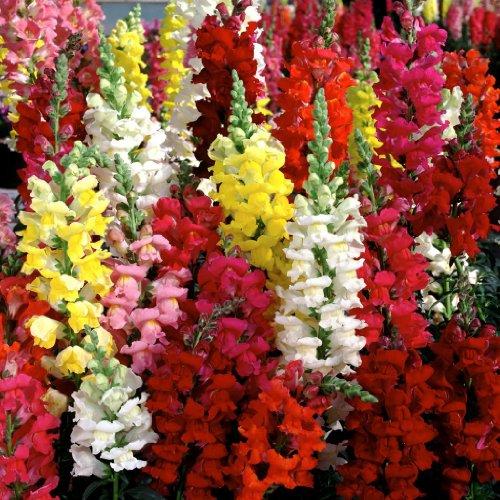 Agricart Antirrhinum Dg flower