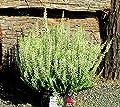 Calluna Vulgaris - Besenheide, Heidekraut weiß12 cm Topf- winterhart, mehrjährig. von Harro's Pflanzenwelt auf Du und dein Garten