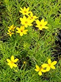 Coreopsis verticillata Zagreb - Netzblattstern, 15 Pflanzen im 7/6 cm Topf