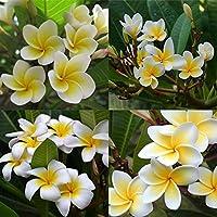 Portal Cool Nuevos 20 / raro fruta de la pasión gigante, deliciosas frutas tropicales suculentas Passiflora