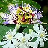 2 Kletterpflanzen: Passionsblume (Passiflora) & Clematis Summer Snow (2 x 1,5 Liter Topfen) - Blau und Weiß & Winterhart   ClematisOnline Kletterpflanzen & Blumen