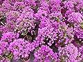 Bougainvillea glabra Alexandra auf Stamm 40-60 cm, purpurviolett, Kletterpflanze von JH Grünwaren GmbH & Co. KG auf Du und dein Garten