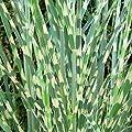 Gestreiftes Ziergras Zebragras - Miscanthus sinensis Strictus - verschiedene Größen von GardenPalms bei Du und dein Garten