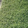 Mühlenbeckia ( Muehlenbeckia axillaris ) von Lichtnelke Pflanzenversand - Du und dein Garten