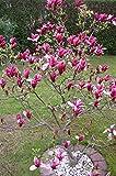 Rote Tulpen-Magnolie, Höhe: 120 cm, Magnolia Susan + Dünger