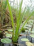 Mühlan - 12 Töpfe (mindestens 6 Sorten) Teichpflanzen für den Gartenteich, ideal zur Bepflanzung der Ufer- und Sumpfzone