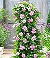 """Calystegia """"Pink Lovers"""",3 Knollen von Baldur-Garten - Du und dein Garten"""