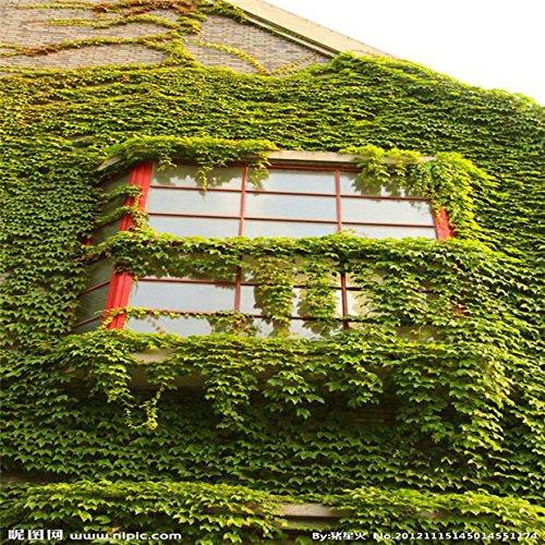 Shopmeeko 100 Teile/paket Bunte Boston Ivy pflanzen Von Japanischen Kletterpflanze Für Diy Home & amp; Gartenpflanzen im Freien Bonsai Freies Verschiffen: Grün
