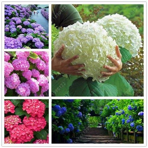 20 Samen / bag Hortensie Samen, China Hortensien, Bonsai Hydrangeablume, 11 Farben Blumensamen, Natürliches Wachstum für Hausgarten - Farben China
