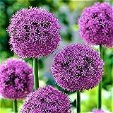 """10x Blumenzwiebeln RIESEN ZIERLAUCH Allium """" Fireworks """" mit beeindruckender Blüte -"""