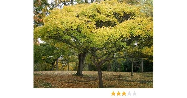 1 Packs Acer Campestre-Field Maple 30 Seeds Tree Seeds Online