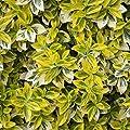 Amazon.de Pflanzenservice 212781 Euonymus-Stämmchen, fortunei Emeraldn Gold 1 Stämmchen von Amazon.de Pflanzenservice bei Du und dein Garten