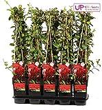 Blumen-Senf Geißblatt Lonicera japonica Red World Japanisches Geißblatt/Jelängerjelieber