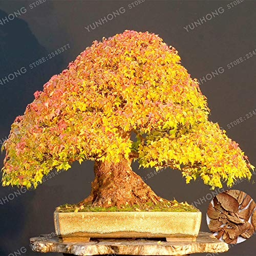 Japanischer Geist Gelb Ahorn Bonsai Bonsai Ecer Mono Maxim Baum Bonsai Bonsai für Garten Pflanzen des All Season ()