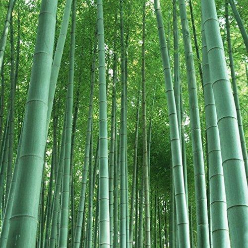 Riesenbambus (Moso Bambus)/50 Samen/winterhart/wächst 10 Meter in Rekordgeschwindigkeit/Ideal als schnell wachsender Sichtschutz & Windschutz
