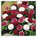 100 PCS / BAG semillas aster aster flor bonsai semillas de flores de crisantemo del arco iris semillas planta perenne de flores a domicilio de jardín púrpura