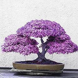 20 Samen / Pack Japanischen Ahorn Samen, Wongfon Bonsai Lila Ahornbaum Samen Garten Balkon Mehrjährige Verschönerung Pflanzen