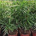 Zyperngras / Katzengras von Holland-Blumen.com auf Du und dein Garten
