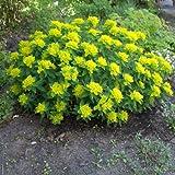 Gold - Wolfsmilch ( Euphorbia polychroma ) Tb9