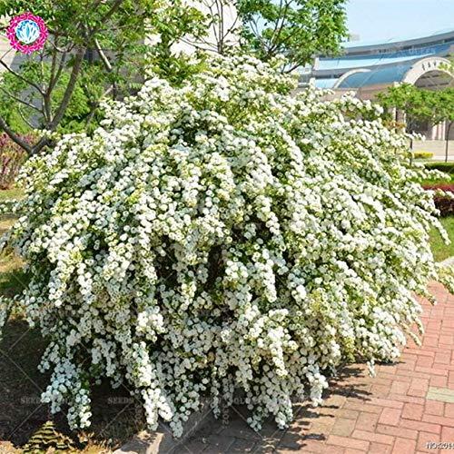 Shopmeeko Bas Prix!100 pcs/Sac Rare Blanc Spiraea Escalade Fleuri Bonbons Prairie Plantes bonsaï en Pot pour Jardin à la Maison: 1