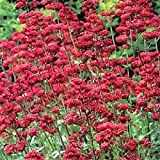 Portal Cool Rouge de Jupiter Barbe Graines de fleurs/Centranthus Ruber Coccineus/Vivaces 40 +