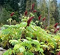 Portal Cool Melianthus-Dur - 1 Pflanze - Honeybush - Free P/P, wenn Sie Gegenstände kaufen 3+ von Wide Spread bei Gewürze Shop