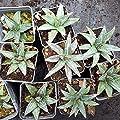 Future Exotics Winterharte Agave Victoriae - Reginae Pflanze - 25 Grad von Future Exotics bei Du und dein Garten