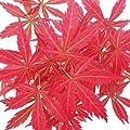 Japanischer Fächer-Ahorn, Acer palmatum, 20cm Schale von Exotenherz auf Du und dein Garten