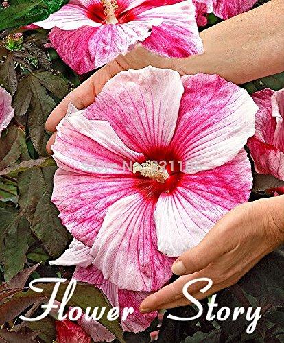 100 Graines géant Hibiscus Fleur semenatsvety Mixte jardin de vivaces