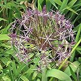 "10x Allium ""Cristophii"" Mehrjähriger Zierlauch Sternkugel- Lauch mit Silbrig-Purpur (Lila) Blüten"