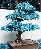 Big Sales. 20Stück blau Ahorn Samen Chinesische seltene blau Bonsai Ahorn Samen Bonsai Pflanzen Bäume für Blumentopf Blumentöpfe