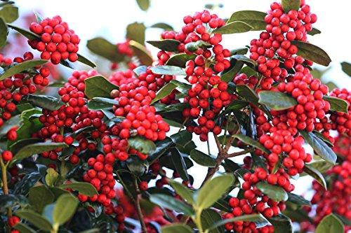 cinese agrifoglio, ilex cornuta, semi arbusto (appariscente evergreen, potato, siepe) 30