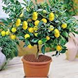 Azalea Gardens Rare Exotic Tropical Fruit Meyer Lemon Dwarf Citrus Plant (1 Healthy Live Seedling Plant)