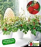 "BALDUR-Garten Balkon & Fensterbank Erdbeere ""Fontaine®"";2 Pflanzen"