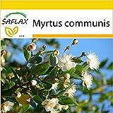 SAFLAX - Anzucht Set - Echte Myrte - Brautmyrte - 30 Samen - Myrtus communis