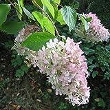 Vivai Le Georgiche Hydrangea Paniculata Grandiflora (Ortensia)