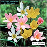 #4: ZEPHYRANTHES LILLY FLOWER BULBS COLLECTION OF FOUR COLOURS ( 2 BULBS EACH COLOURS OF RED , PINK , WHITE AND LAST YELLOW ) BY KRAFT SEEDS
