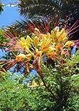 Tropica - Penne Di Pavone Resistente Al Gelo(Caesalpinia Gillesii X Spinosa) - 15 Semi