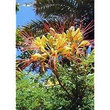 TROPICA - Winterharter Pfauenstrauch (Caesalpinia gillesii X spinosa) - 15 Samen
