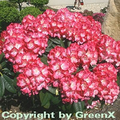 INKARHO - Rhododendron Fantastica 15-20cm - Alpenrose