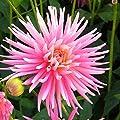Dahlie Park Princess - 3 knollen von Meingartenshop auf Du und dein Garten