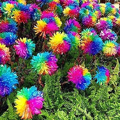 25x Bunte Blumen Samen Regenbogen Saatgut Blumensamen Hingucker Pflanze Blumen Rarität Garten Neuheit #94 von Samenhandel Ipsa Import und Handel bei Du und dein Garten