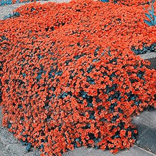 aimado sementi giardino - 50pcs raro flox piante tappezzanti perenni flox semi sementi fiori giardino tappezzante sempreverde resistenza al freddo perenne calpestabile