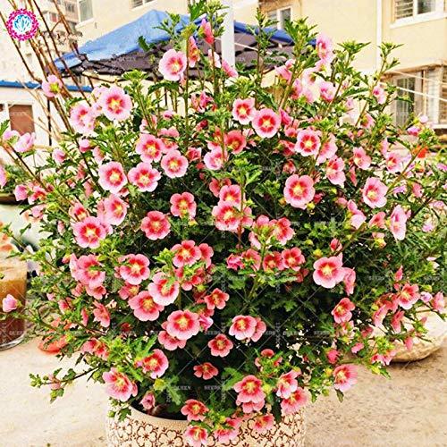 Shopmeeko Samen: 200pcs Mixed Anisodontea capensis Mini Hibiscus Sun Botanik Pflanzen Indoor Bonsai Blume Sementes für Hausgarten