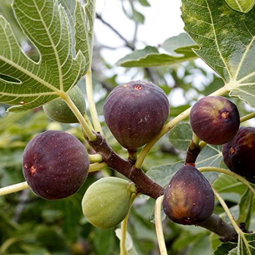 Plantsworld Anjeer - Indian Fig Live Plant