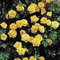 Kletterrose Golden Shower von Meingartenshop bei Du und dein Garten
